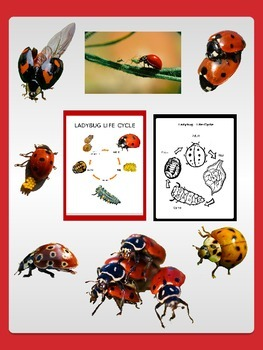 Ladybug clipart cycle. Life sheets with freebie
