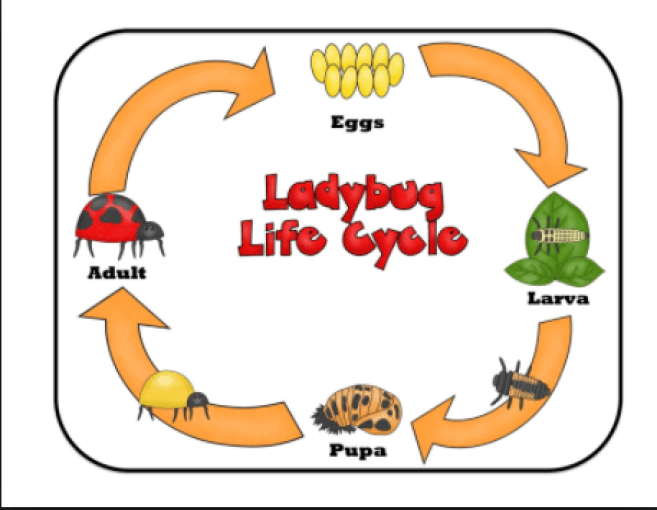 Ladybug clipart cycle. Life stages of the