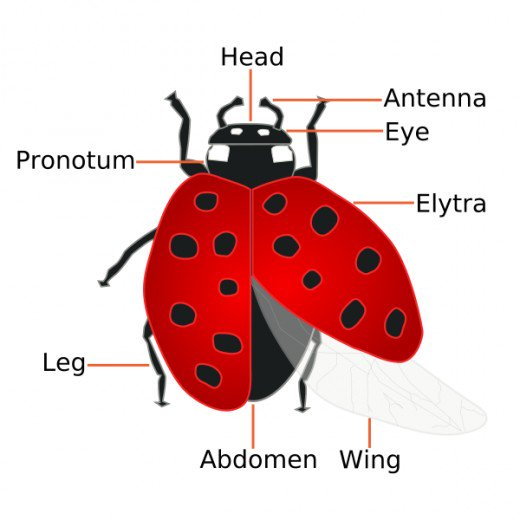 Ladybug clipart ladybug wing. The facts about how