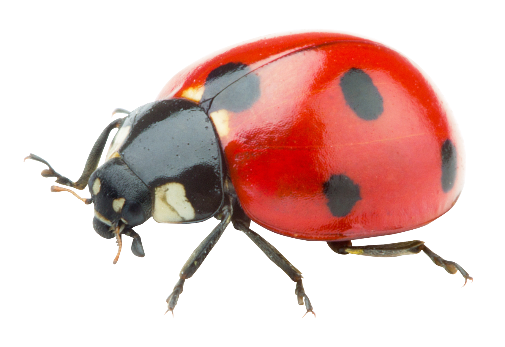 Transparent ladybug. Png image purepng free clipart library download