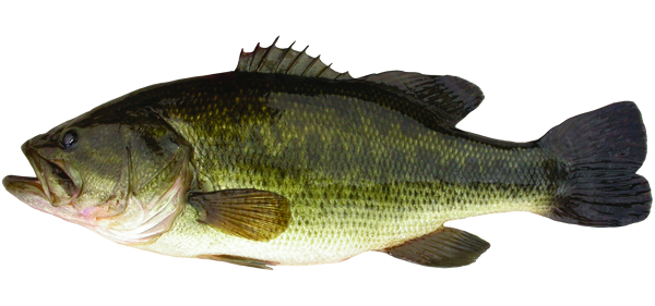 Large mouth bass png. Largemouth travel manitoba