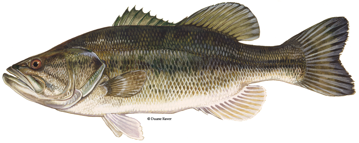 Large mouth bass png. Largemouth