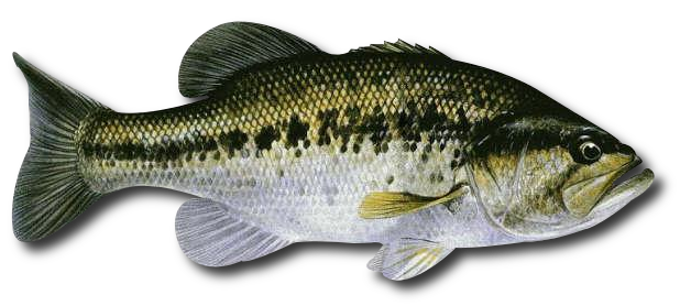 Large mouth bass png. Index of wp content