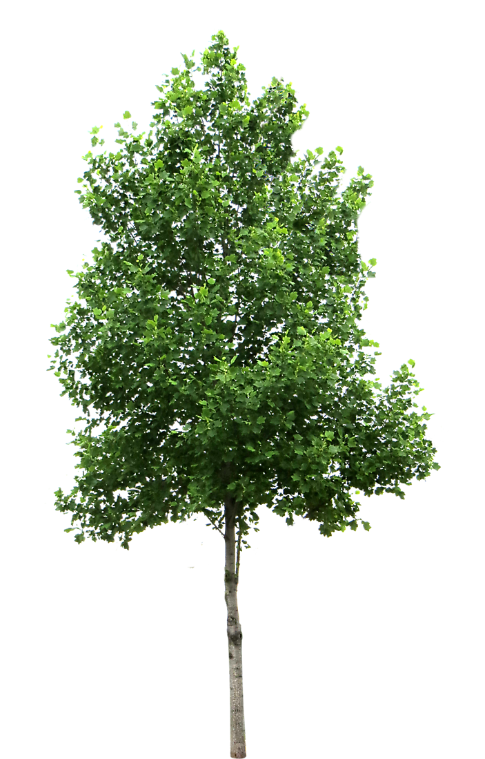 Laurel plant png. Tree images free icons