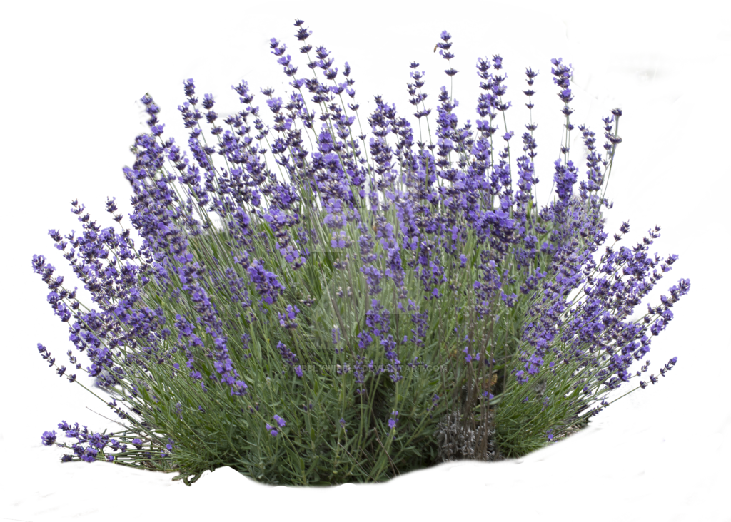 Lavender bush png. By kibblywibbly on deviantart