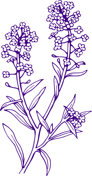 Lavender drawing png. Free cliparts download clip