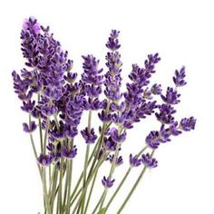 Lavender clipart. Free google search pinterest