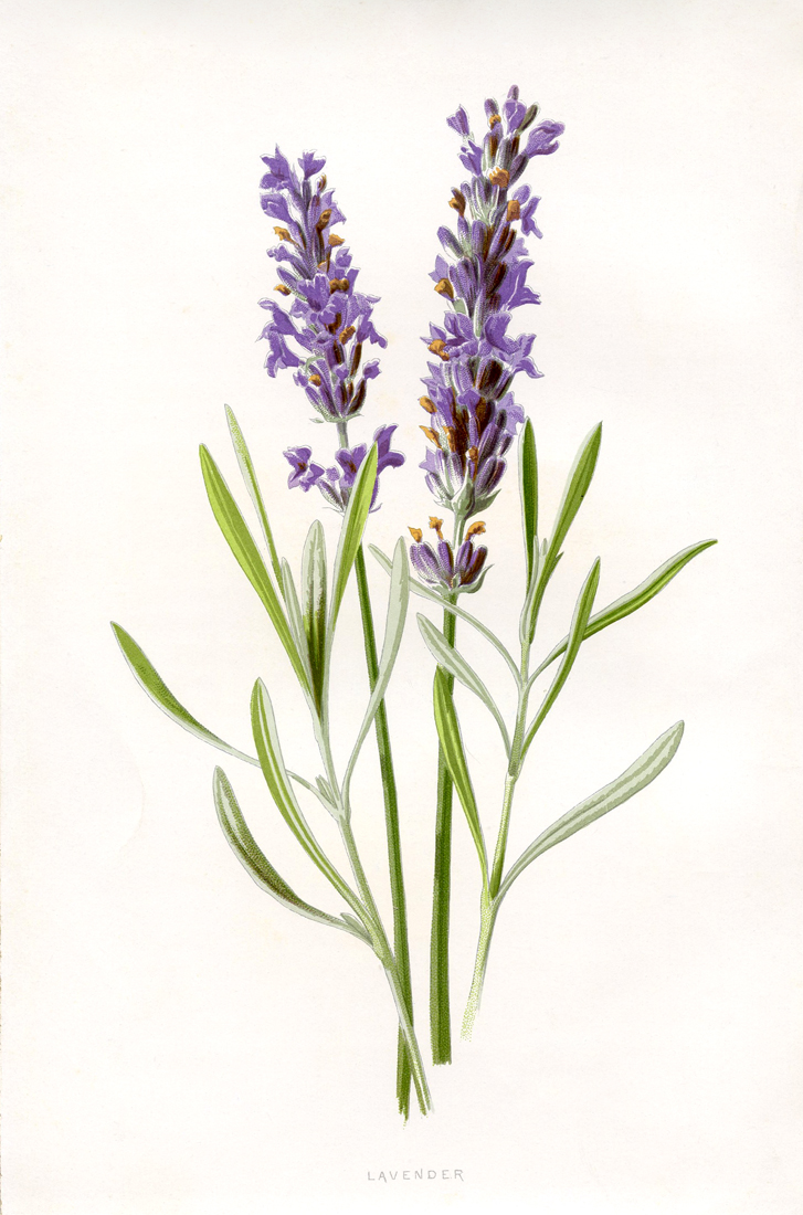 Lavender clipart printable. Beautiful botanical the graphics
