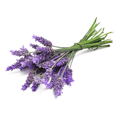 Transparent lavender. Bunch close up png