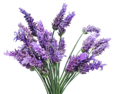Transparent lavender. Freetoedit png flowers with