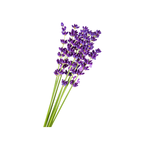 Lavender flower png. Botanical dictionary