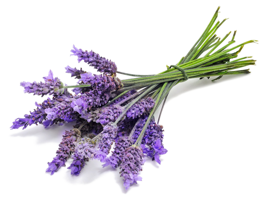 Lavender png. Oil pure uses and