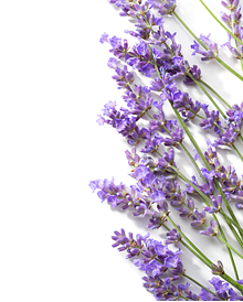 The aging population fear. Transparent lavender sprigs black and white download
