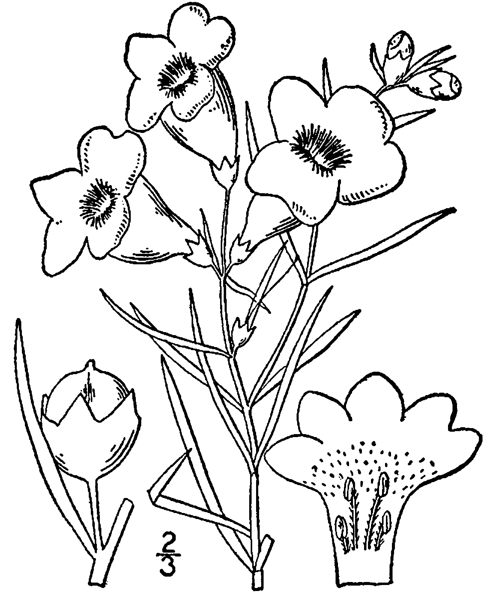 Lead drawing foxglove flower. File agalinis purpurea png