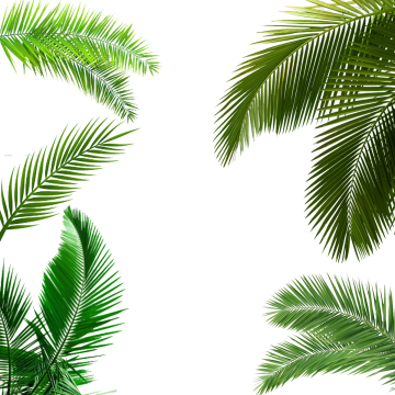 Palm leaf texture png. Tree images download resources
