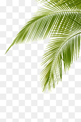 Leaf clipart coconut tree. Png images vectors and