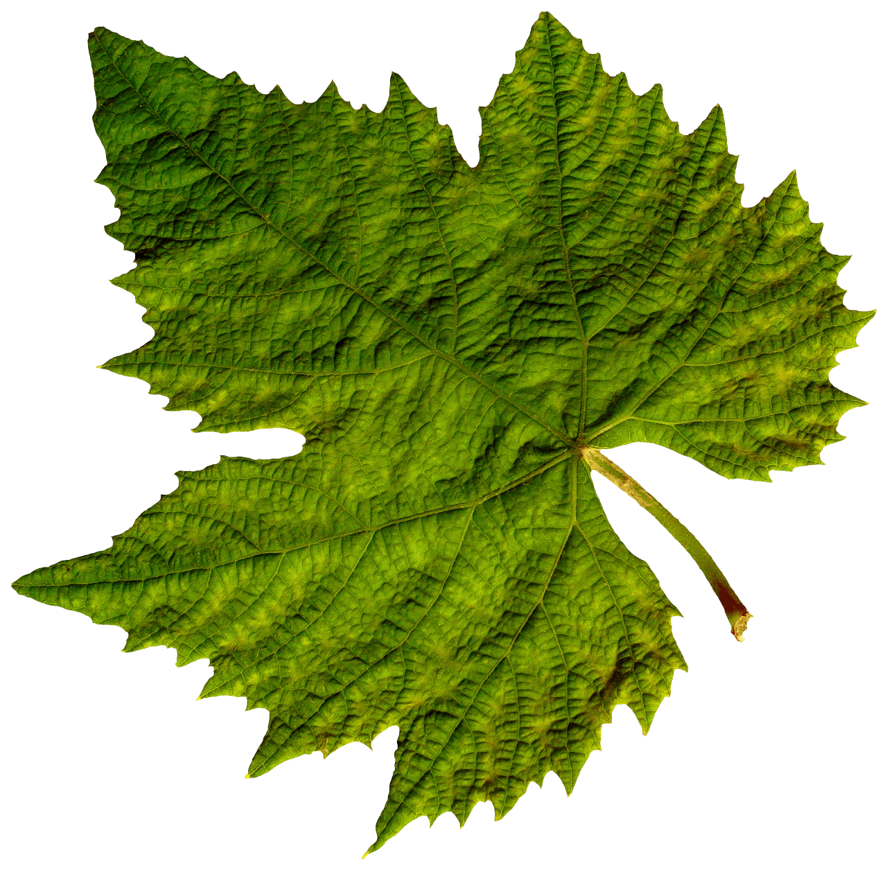 Leaf png. Isolated green transparent stickpng