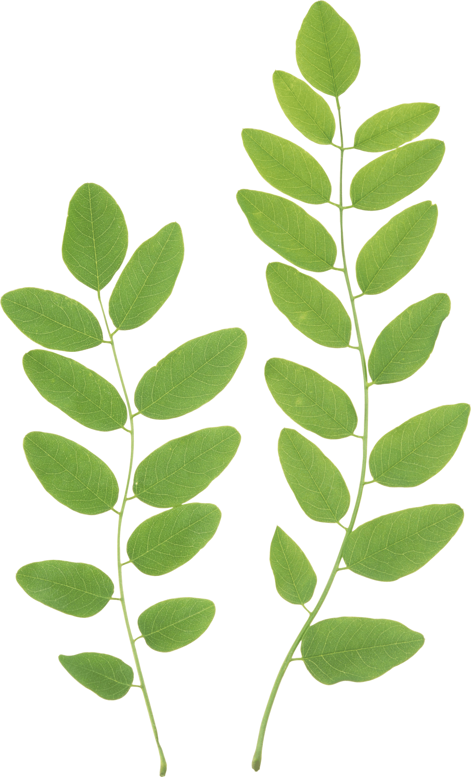 Green leafs png. Leaves images transparent free