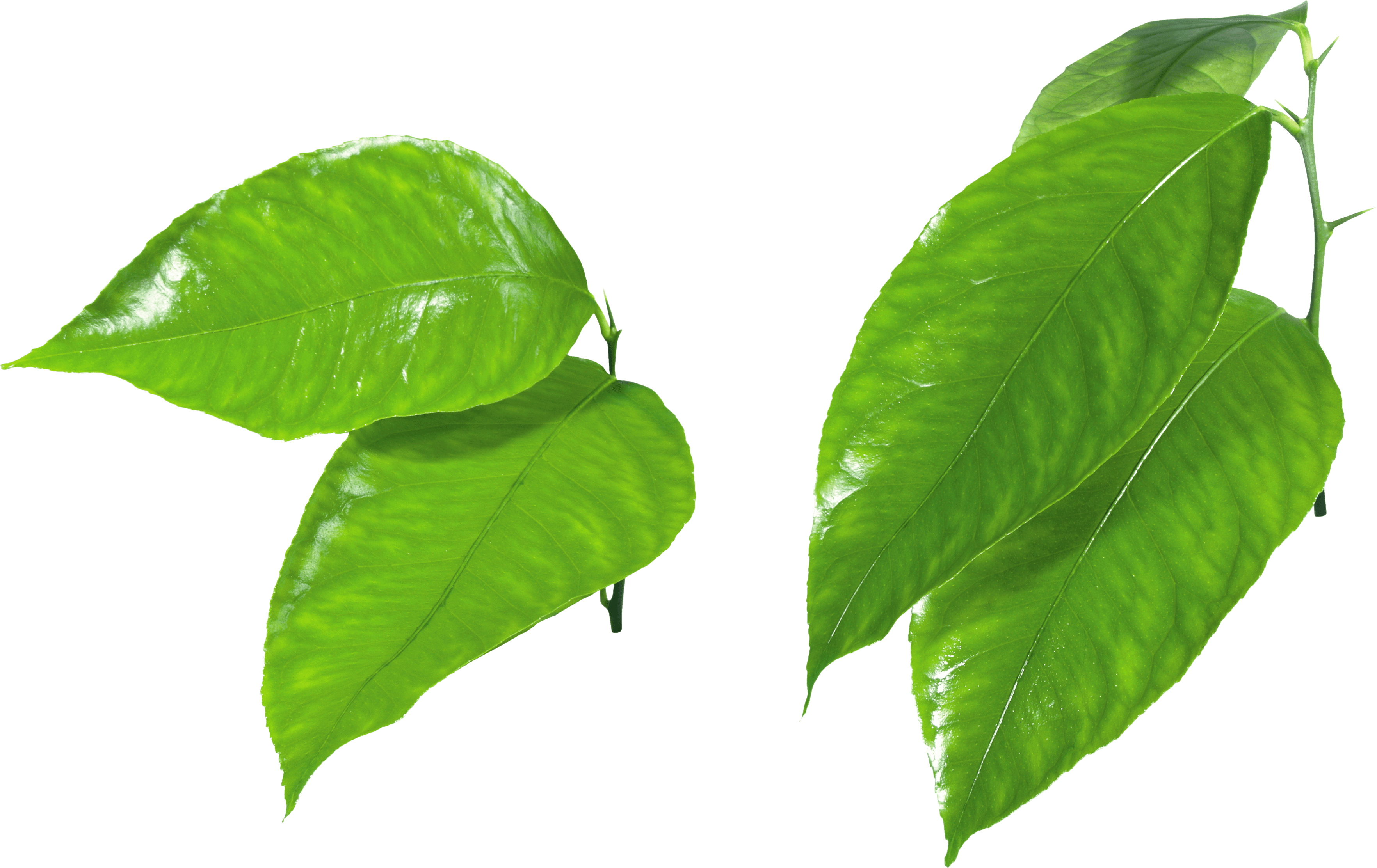 Leaf png. Download green hq image jpg library stock
