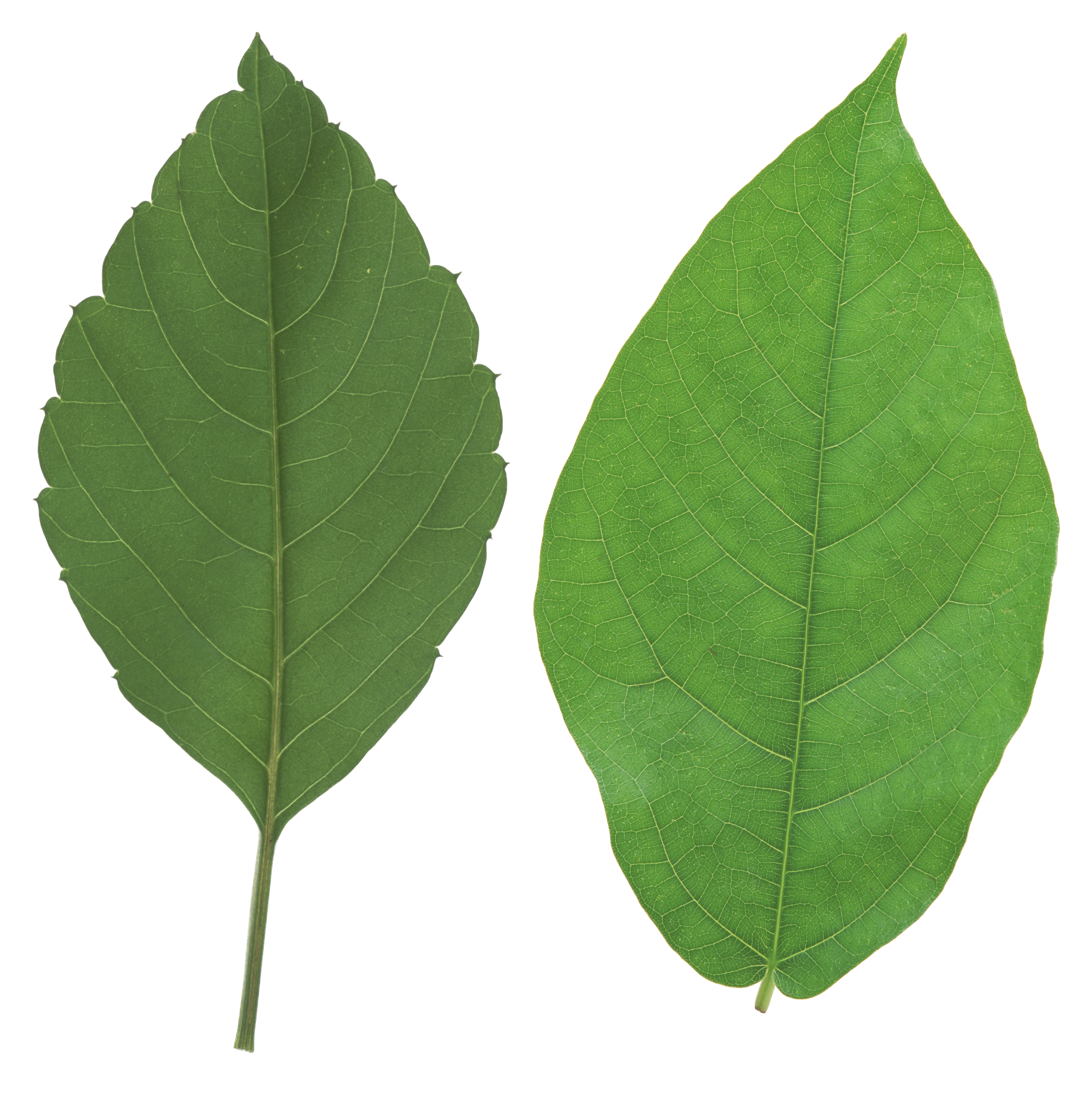 Green leaves images free. Leaf png image library download