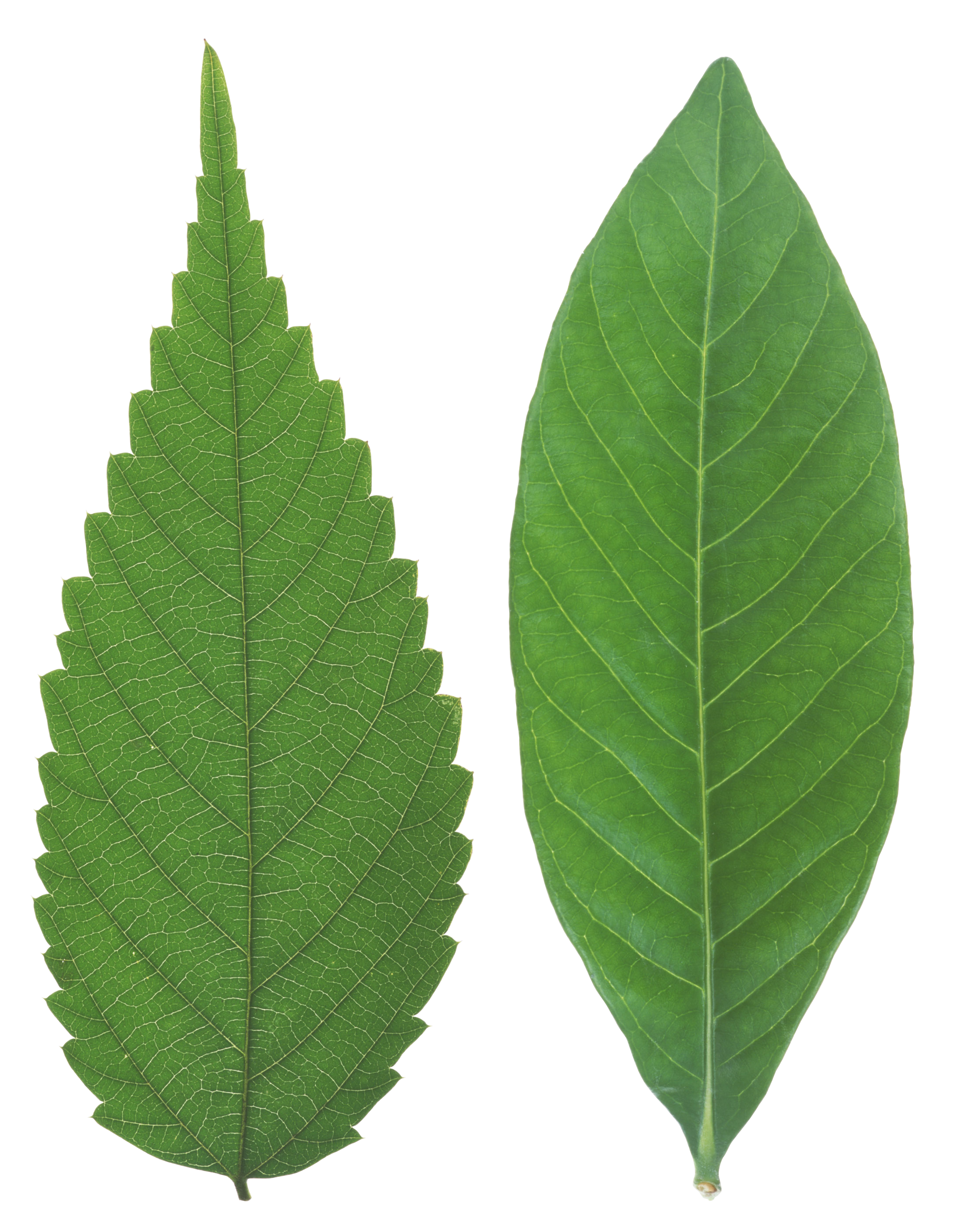 Leaf texture png. Green leaves images free