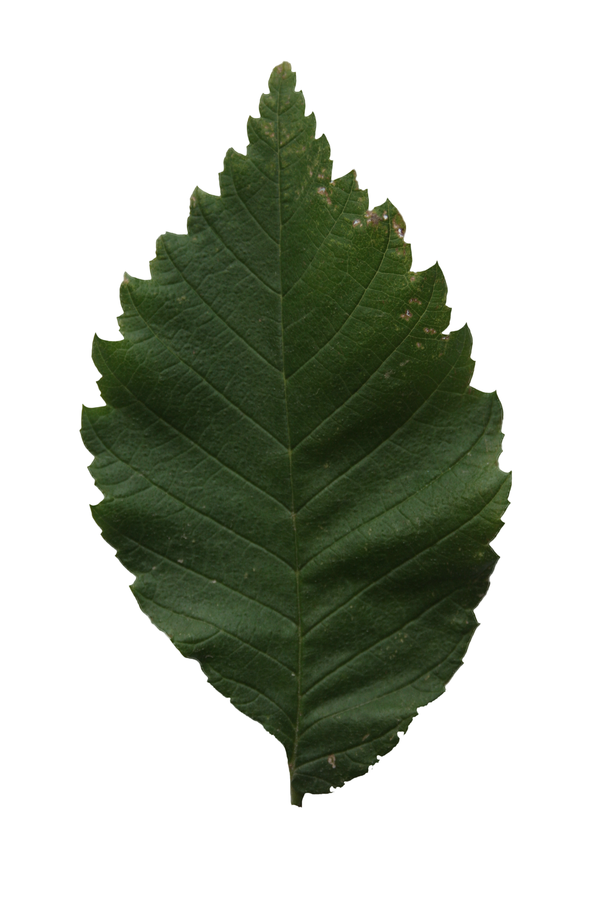 Leaf texture png. Hornbeam free cut out