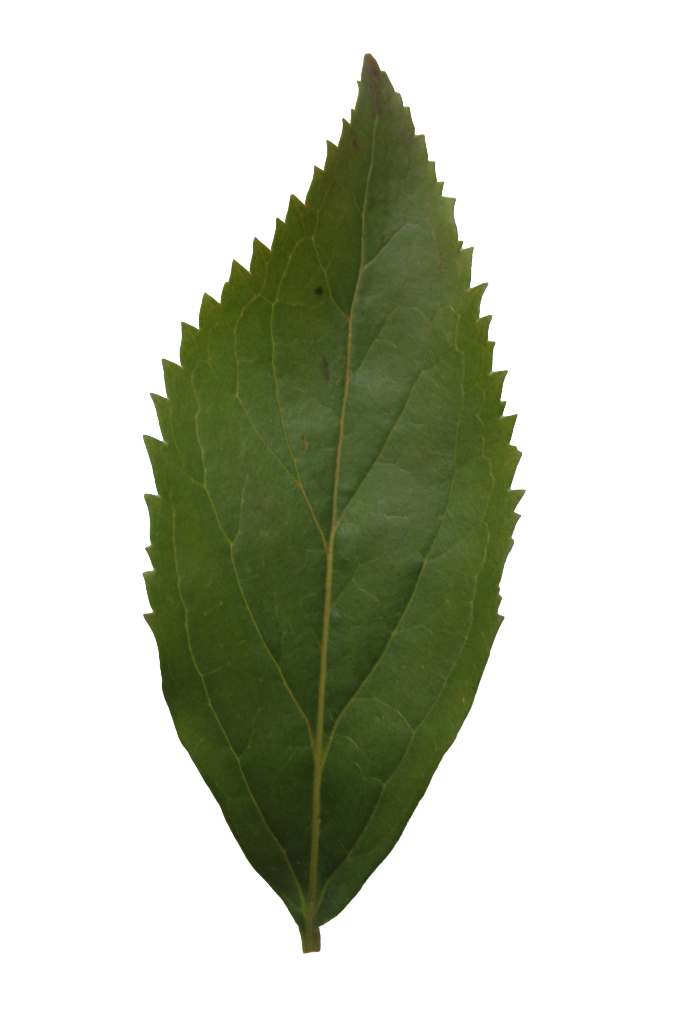 Leaf texture png. Ash free cut out