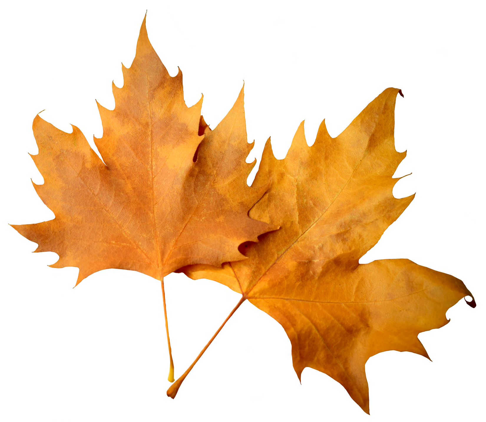 Leave falling png. Autumn leaves transparent background