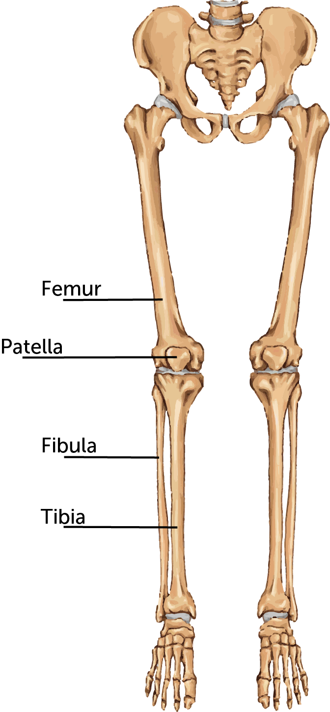 transparent bone femur