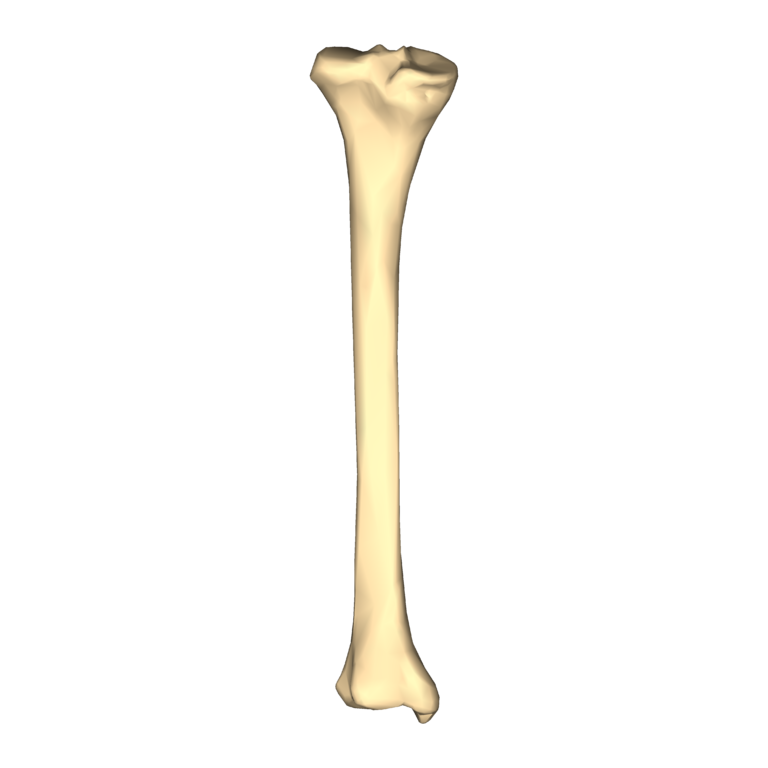 transparent bone unlabeled