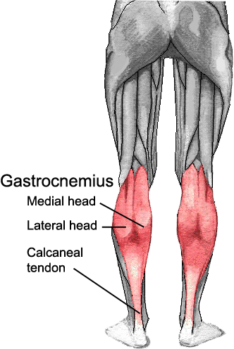 Buff legs png. Muscles of the lower