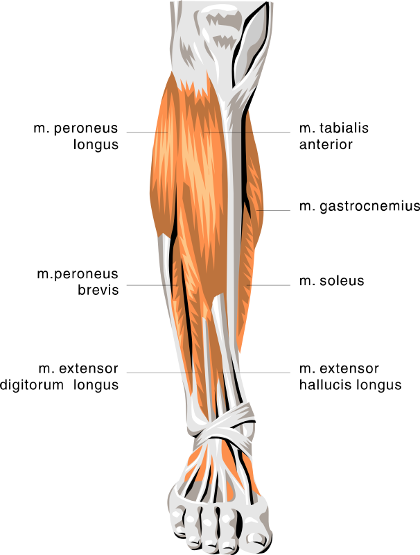 Transparent muscles leg. Anatomy lower medical muscle