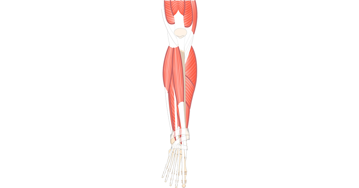 Leg muscle png. Muscles that act on