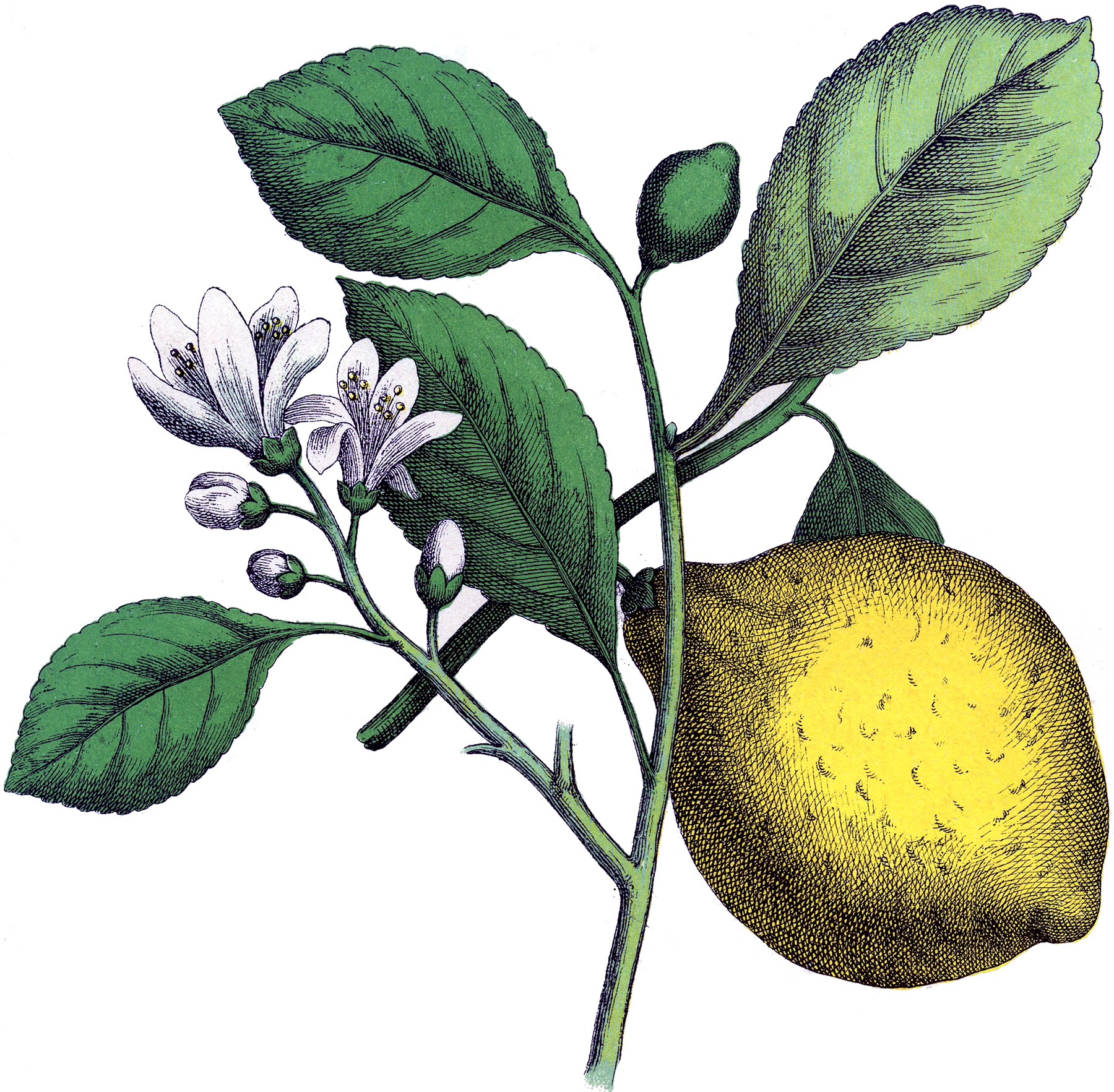 Lemon clipart vintage. Fantastic botanical image the
