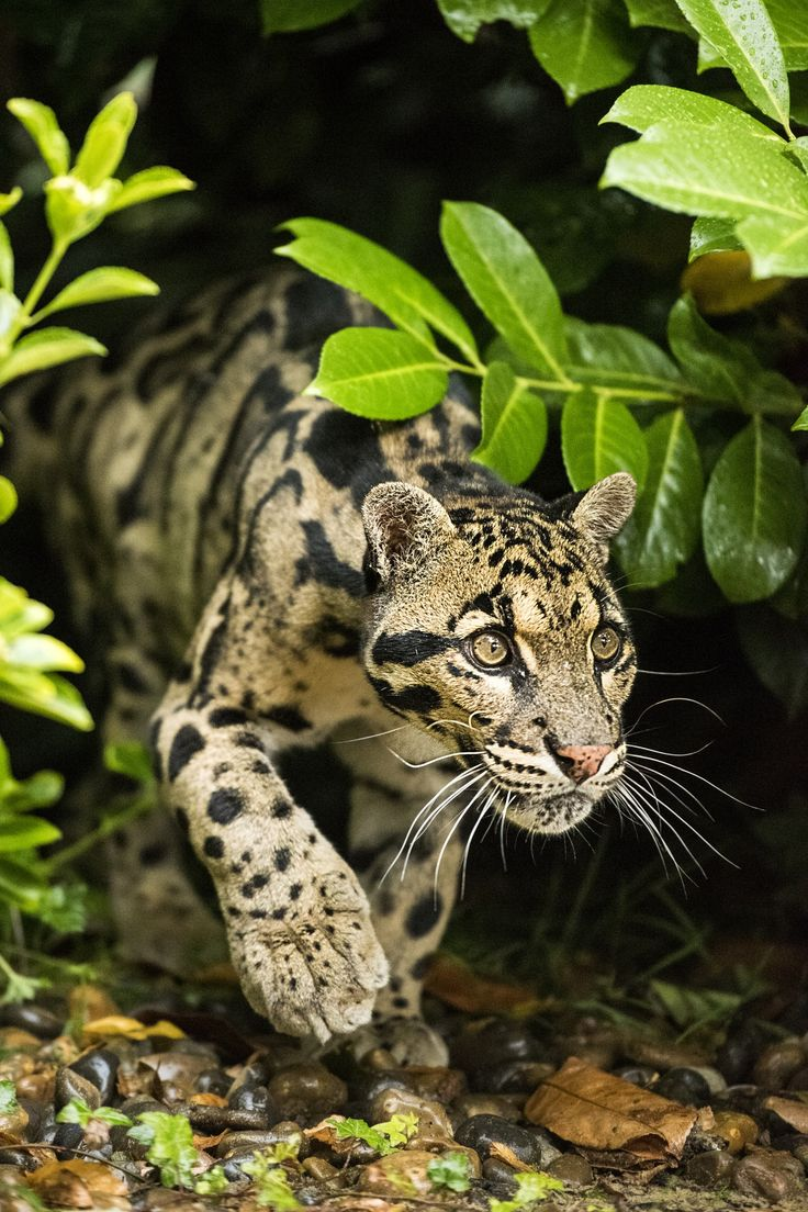 Leopard clipart clouded leopard. Asiatic pencil and in