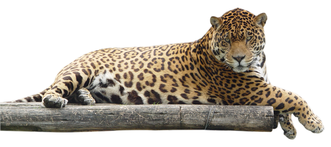 Jaguar transparent vector. Leopard png images free