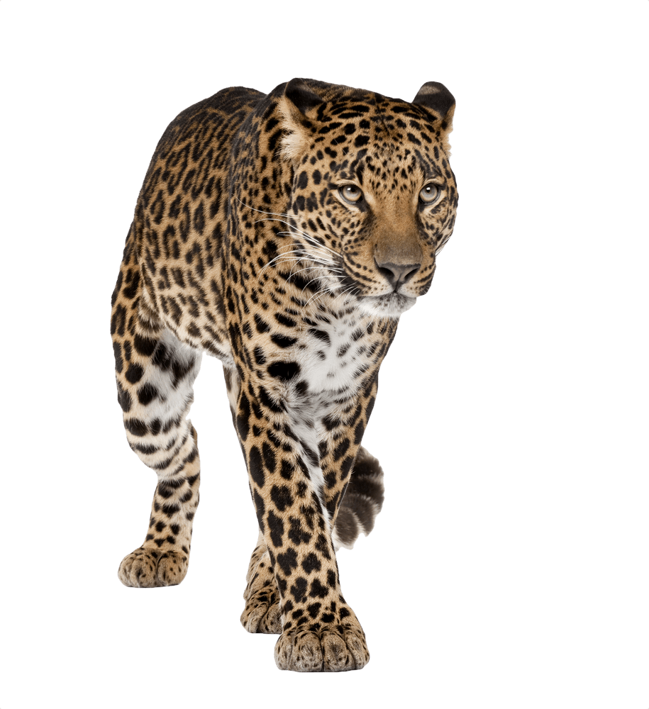 Leopard transparent. Walking front png stickpng
