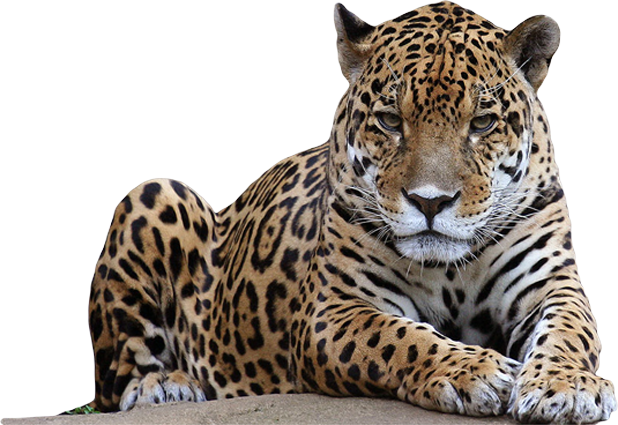 Leopard transparent. Hq png images pluspng