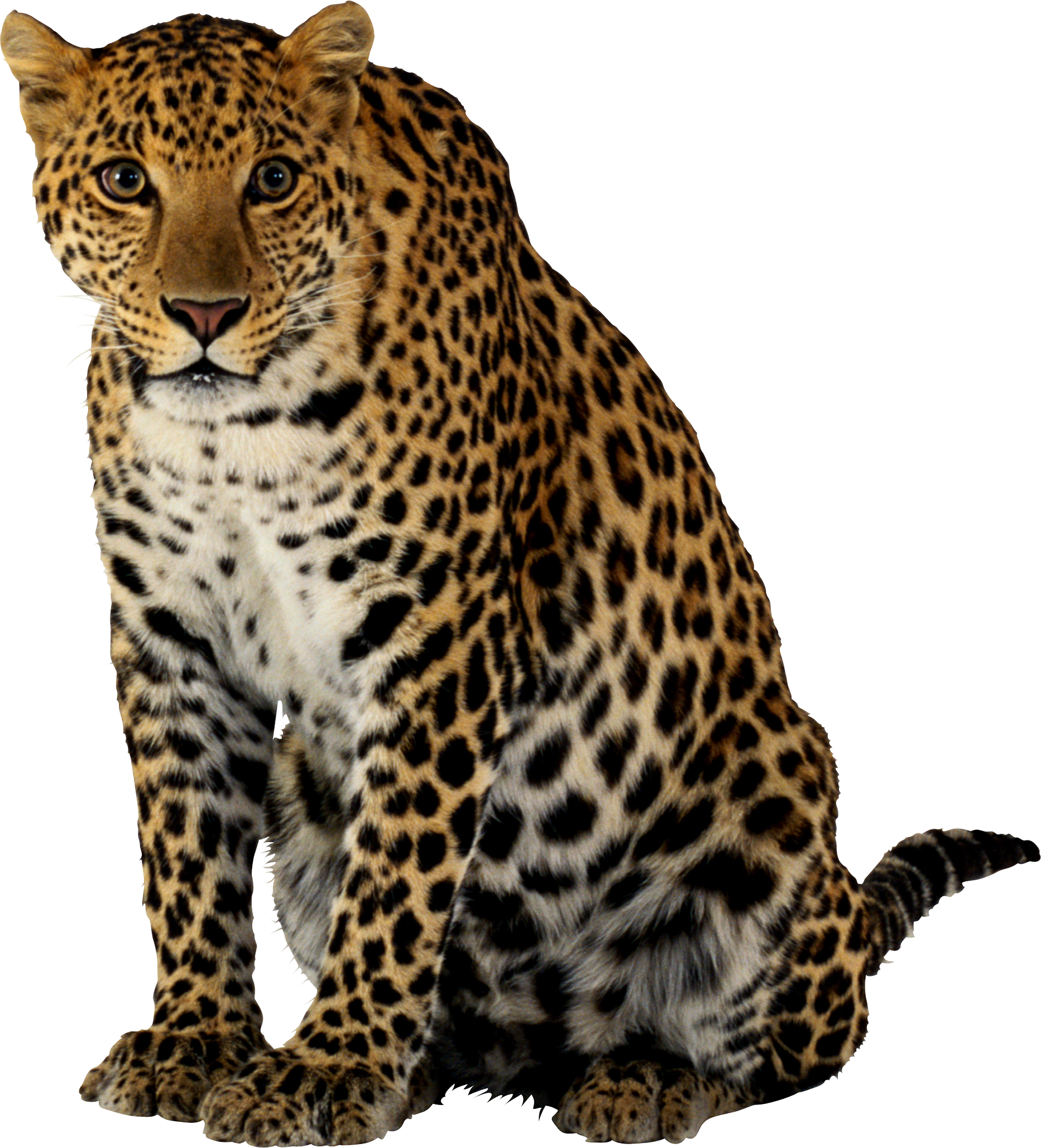 Leopard transparent big cat. Sitting png image purepng