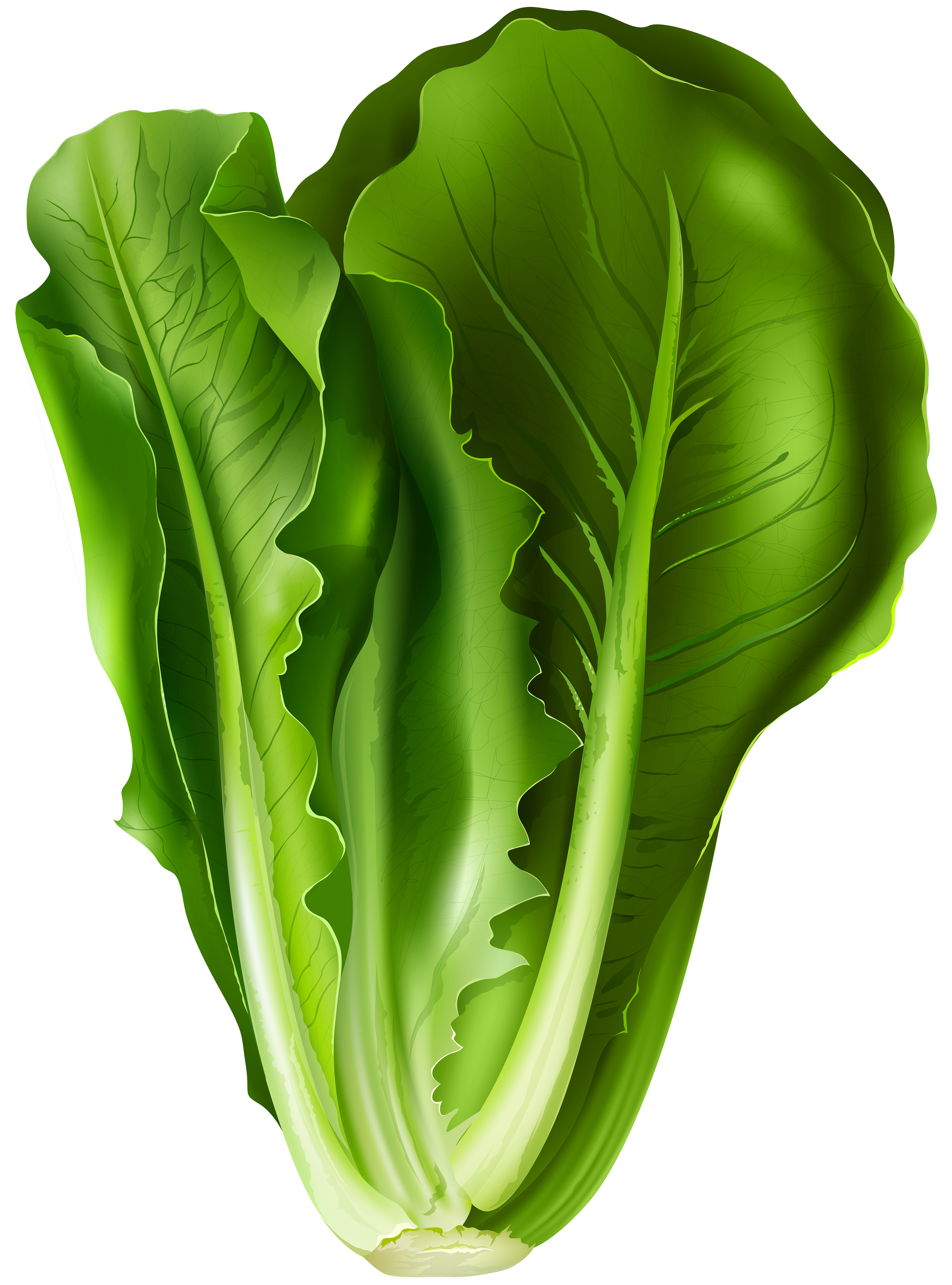 Lettuce cartoon png. Clip art image gallery