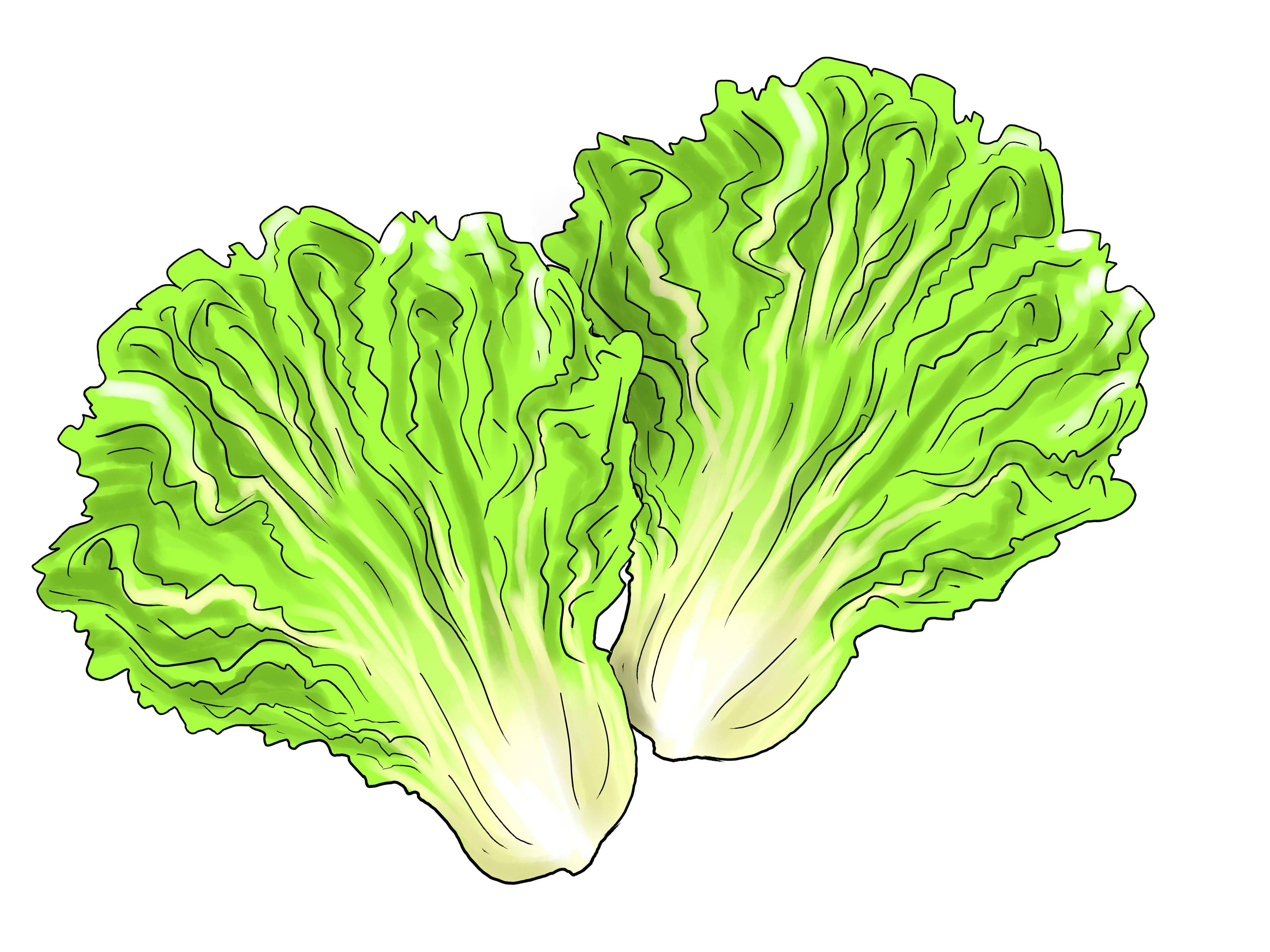 Lettuce clipart. Fresh collection digital coloring