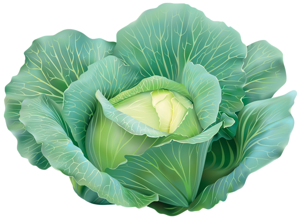 cabbage plan view png