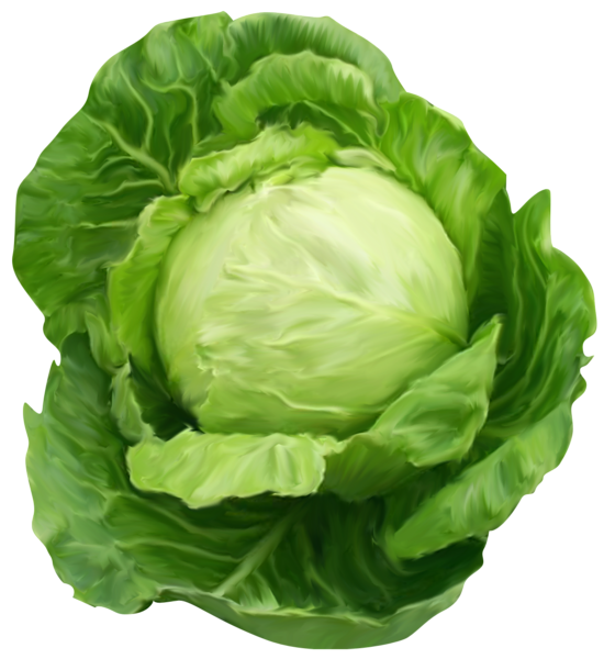 Cabbage clipart cabbage plant. K poszta p pinterest