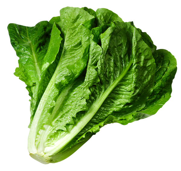 Vector vegetables lettuce. Png picture gy m