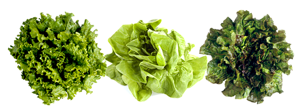 Lettuce garden png. Company information convention anise
