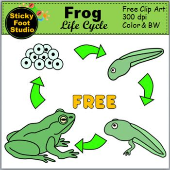 Lifecycle. Frog life cycle clip