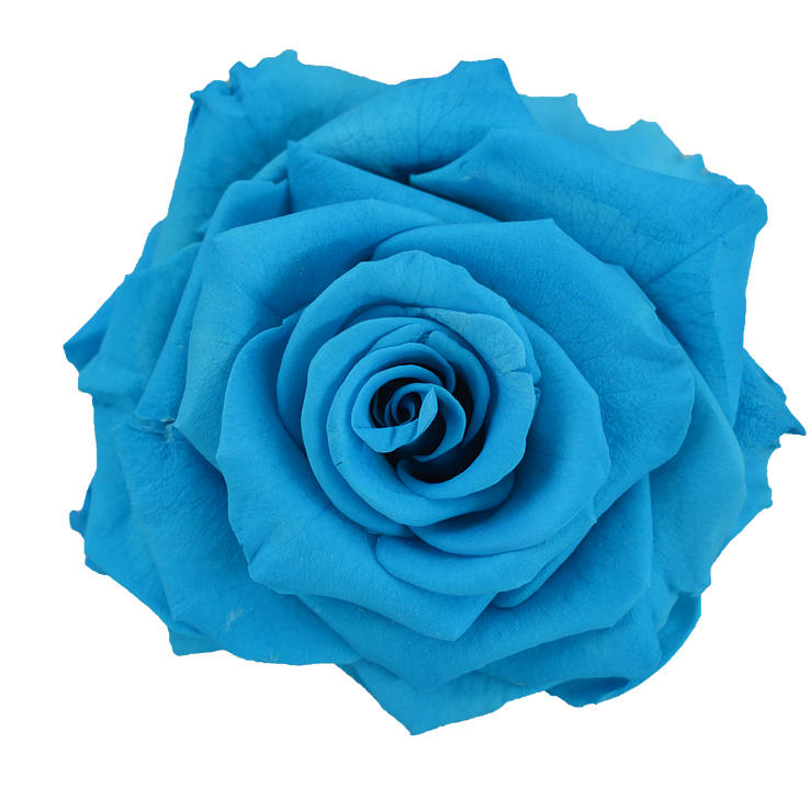 Turquoise flower png. Preserved rose light blue