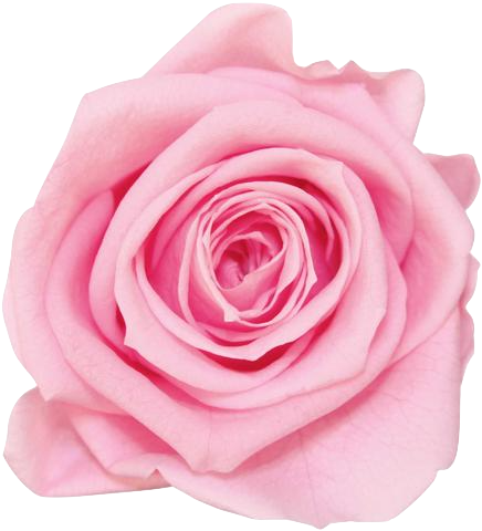 Light pink flower png. La fabuleuse with eternal