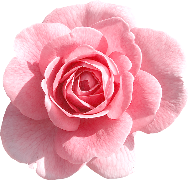 Light pink flower png. Rose clipart gallery yopriceville