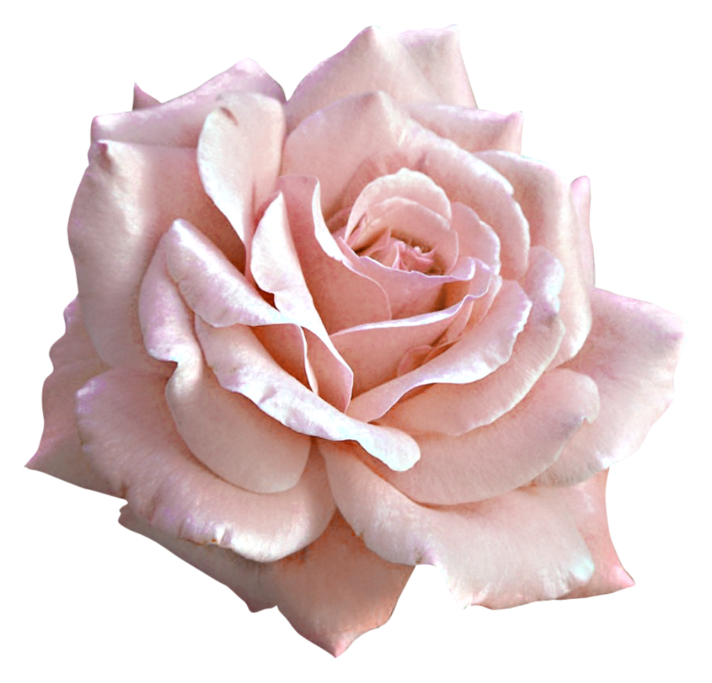 Light pink flowers png. Large rose clipart gallery